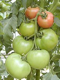 tomato07210.jpg