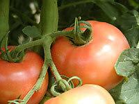 tomato0801.jpg